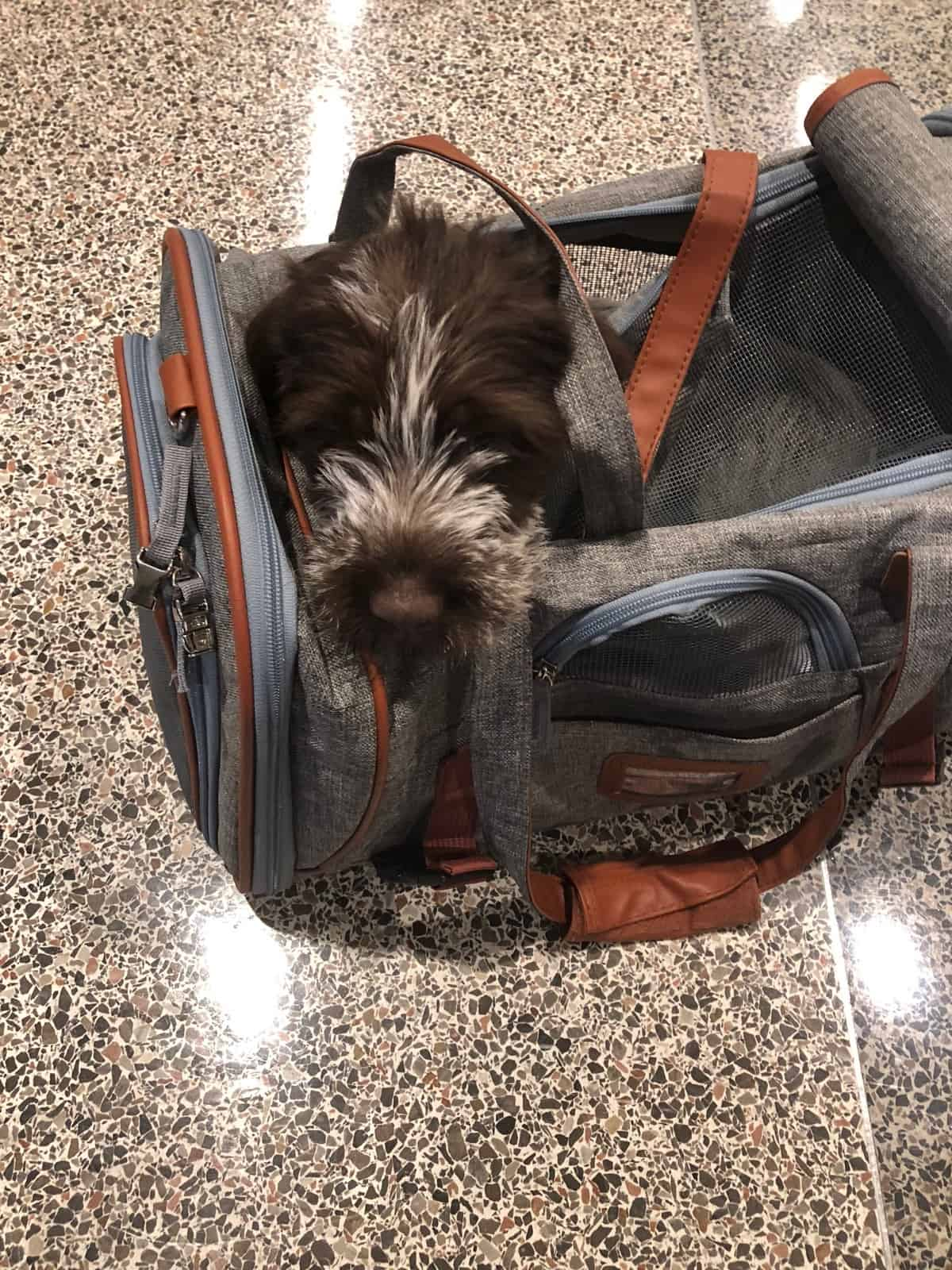 Wirehaired pointing griffon puppy in a small carrier