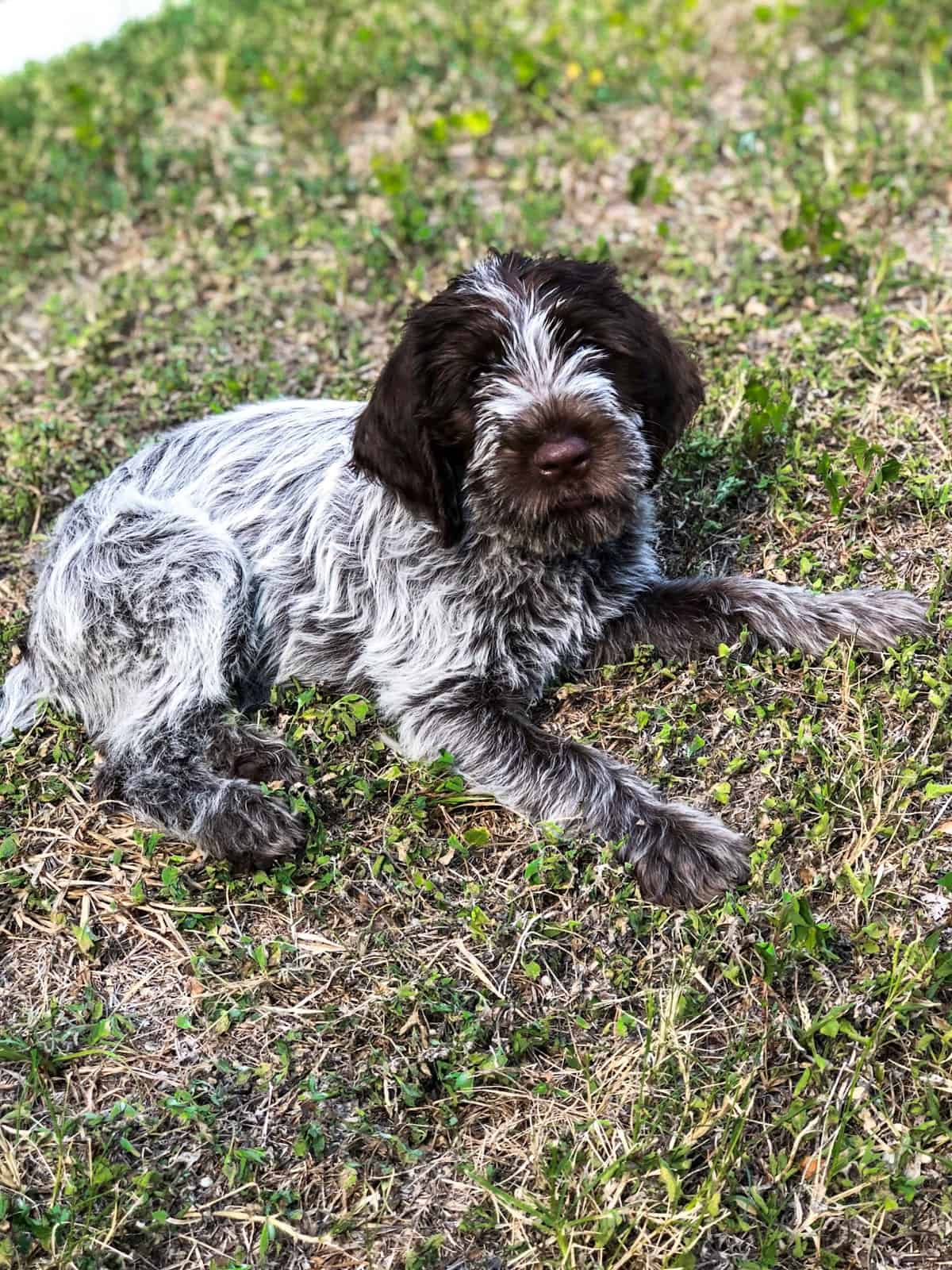 Wirehaired pointing griffon puppy laying down in the grass